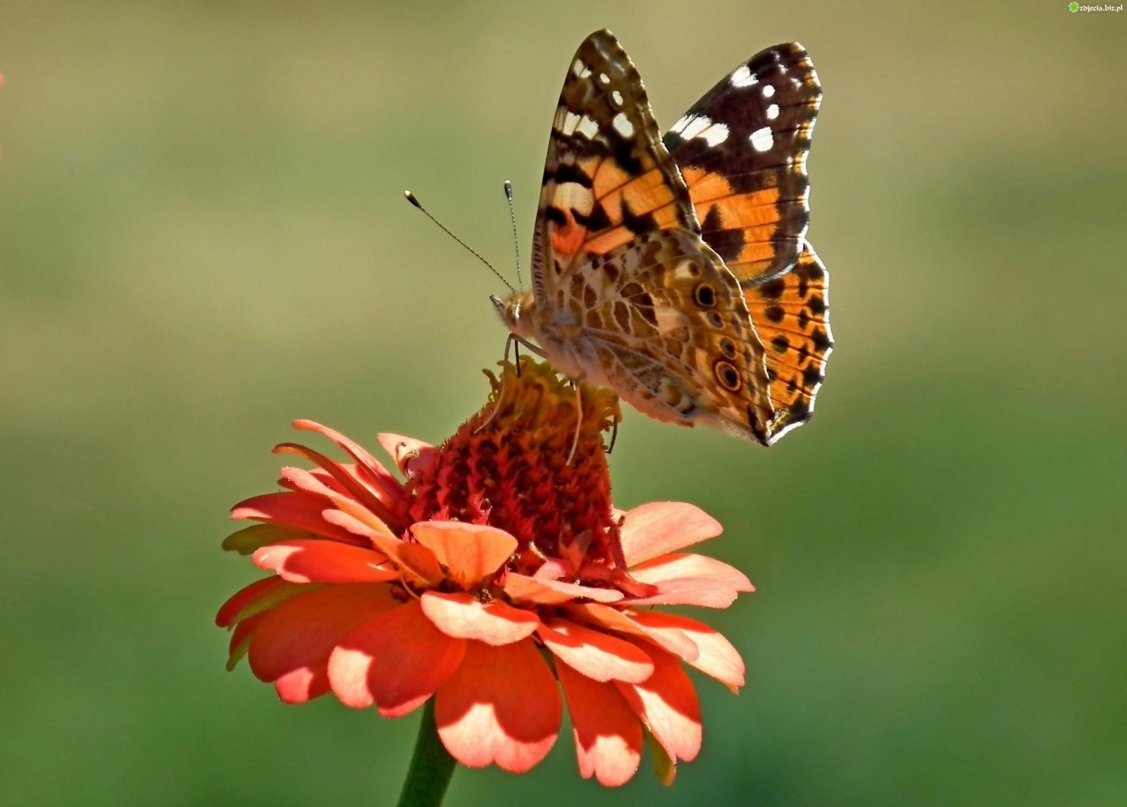 Nauka zdalna (08.06. - 12.06.2020r) - Motylki