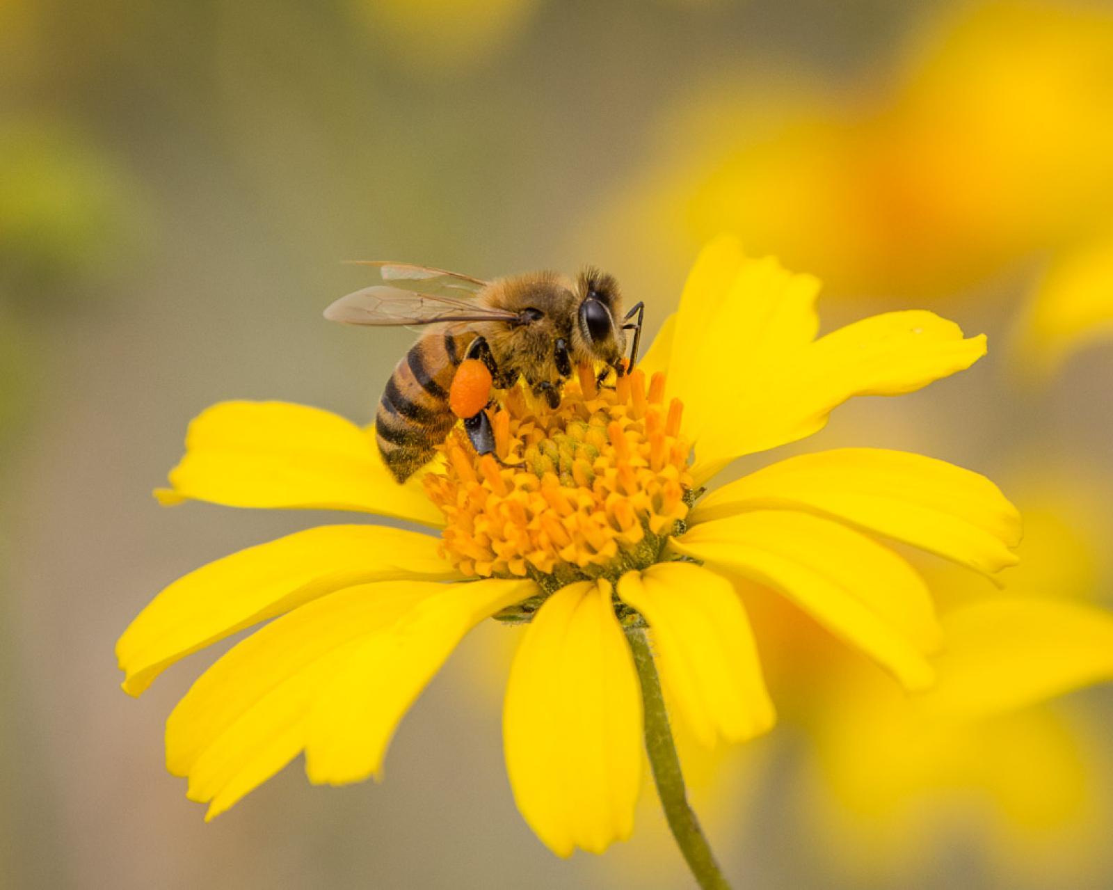 Nauka zdalna (08.06. - 12.06.2020r) - Pszczółki
