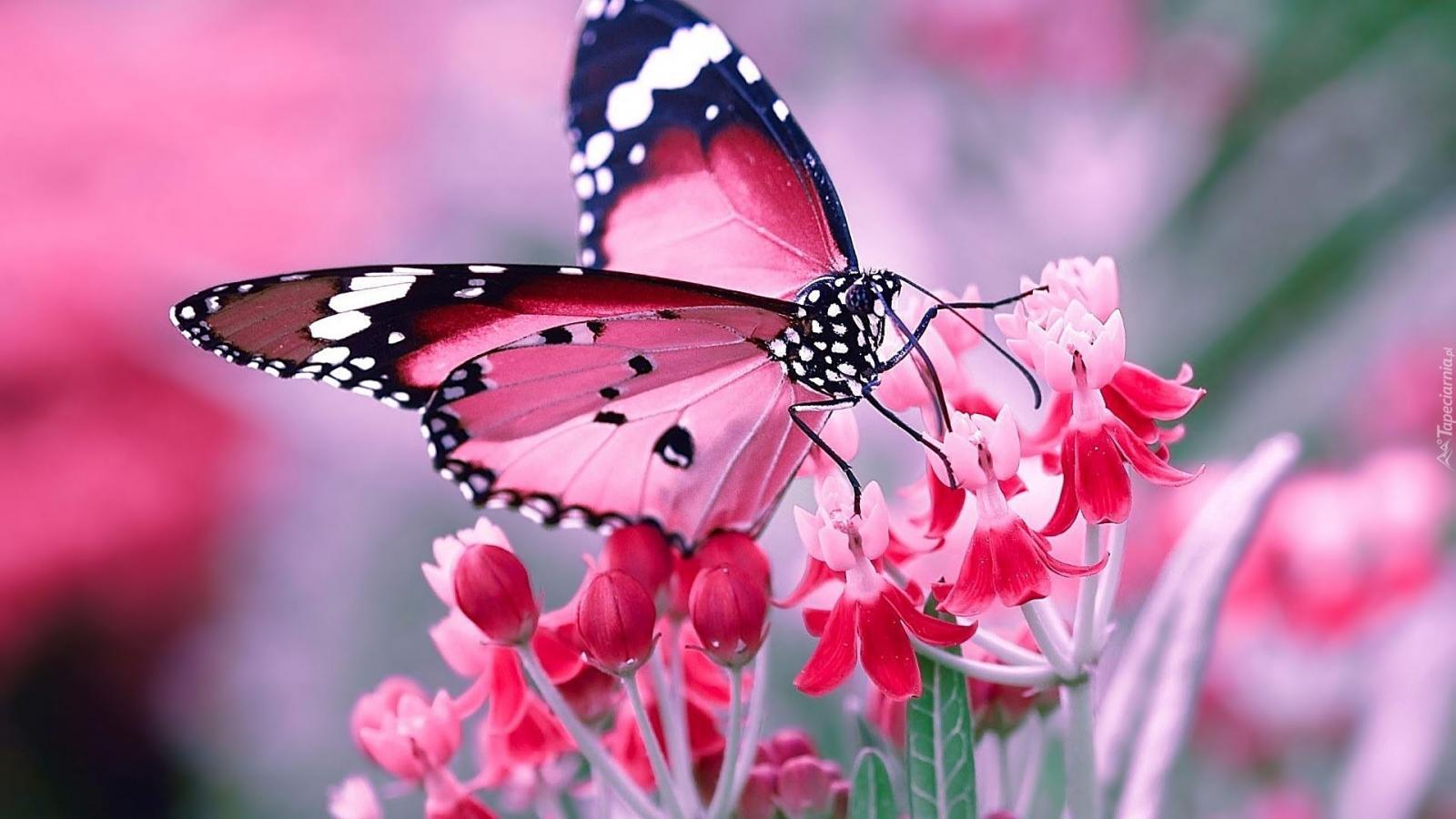 Nauka zdalna (15.06. - 19.06.2020r) - Motylki