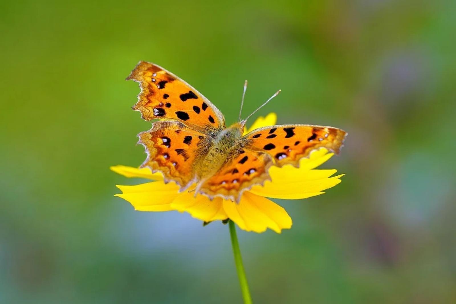 Nauka zdalna (22.06. - 26.06.2020r) - Motylki
